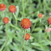 Red Globe Amaranth or Red Bachelor Button flower — Stock Photo