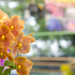 Blossom vanda orchid — Stock Photo