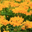 Orange cosmos flower. — Stock Photo