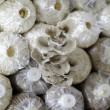 Cultivate of oyster mushroom — Stock fotografie #37560221