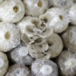 Stock Photo: Cultivate of oyster mushroom