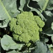Stock Photo: Fresh broccoli in garden