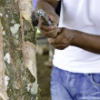 Stockfoto: Rubber tapper tapping latex from rubber tree