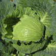 Fresh green cabbage in garden — Stock Photo