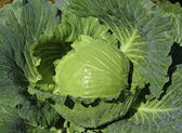 Fresh green cabbage in garden — Stockfoto