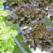 Hydroponic fresh lettuce vegetable — Stock Photo