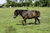 Horse walking at pasture meadow — Stock Photo
