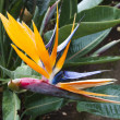Bird of Paradise flower. Madeira — Stock Photo
