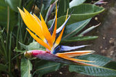 Bird of Paradise flower. Madeira — Photo