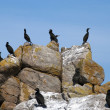 Cormorant huppe outpost — Stock Photo