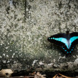 Black and blue butterfly - Stock Photo