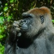 Gorilla picking its nose — Stock Photo