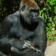 Gorilla sits in the sun — Stock Photo