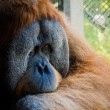 Shy old orangutan — Stock Photo