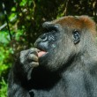 Stock Photo: Gorilllicking its finger