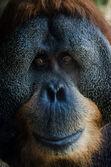 Старый портрет орангутанг — Стоковое фото