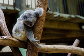 Koala sleeping on a branch — Stock Photo
