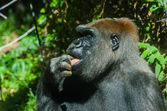 Gorilla licking its finger — Stock Photo