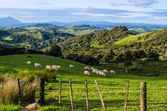 Sheep eating grass on the mountains of the north island of New Zealand — Foto de Stock