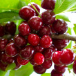 Royalty-Free Stock Photo: Huge cherry cluster