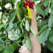 Picking cherry with two hands — Stock Photo