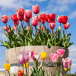 Barrel full of Tulips — Stock Photo