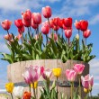 Barrel full of Tulips - Stock Photo