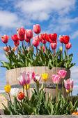 Barrel full of Tulips — Stock Photo