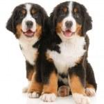 Two bernese sennenhund puppies — Stock Photo