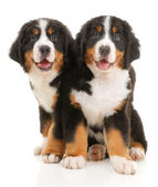 Two bernese sennenhund puppies — Stock Photo