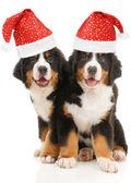 Dos cachorros de boyero de berna bernese — Foto de Stock