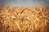 Campo de dorado trigo maduro, día soleado, enfoque suave, paisaje agrícola, cultivo planta, cultivar cosechas, naturaleza otoñal, concepto de temporada de cosecha — Foto de Stock