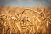 Golden ripe wheat field, sunny day, soft focus, agricultural landscape, growing plant, cultivate crop, autumnal nature, harvest season concept — ストック写真