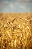 Golden ripe wheat field, sunny day, soft focus, agricultural landscape, growing plant, cultivate crop, autumnal nature, harvest season concept — Foto de Stock