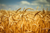 Golden ripe wheat field, sunny day, soft focus, agricultural landscape, growing plant, cultivate crop, autumnal nature, harvest season concept — 图库照片