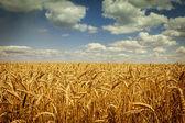 поле золотой спелой пшеницы, солнечный день, мягкий фокус, сельскохозяйственный ландшафт, выращивание растений, выращивать урожай, осеннее природа, понятие сезон урожая — Стоковое фото
