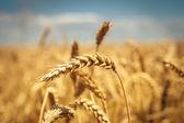 金色成熟麦田,阳光明媚的日子,软焦点,农业景观,生长的植物,培育作物、 秋季自然,收获季节概念 — 图库照片
