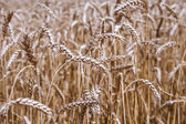 Golden ripe wheat field, sunny day, soft focus, agricultural landscape, growing plant, cultivate crop, autumnal nature, harvest season concept — Stok fotoğraf