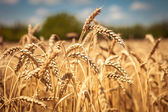 Golden ripe wheat field, sunny day, soft focus, agricultural landscape, growing plant, cultivate crop, autumnal nature, harvest season concept — Foto Stock