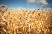 Campo de trigo maduro dourado, dia ensolarado, foco suave, paisagem agrícola, crescimento de planta, cultivar culturas, natureza outonal, conceito de época de colheita — Foto Stock