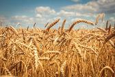 Gyllene mogen vete fält, solig dag, mjuk focusen, jordbrukslandskapet, växande växt, odla grödor, höstliga naturen, skörd säsong koncept — Stockfoto