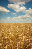 Gouden rijp tarweveld, zonnige dag, zachte focus, agrarische landschap, groeiende plant, cultiveren gewas, herfst aard, oogst seizoen concept — Stockfoto