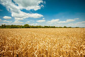 Golden ripe wheat field, sunny day, soft focus, agricultural landscape, growing plant, cultivate crop, autumnal nature, harvest season concept — Стоковое фото
