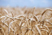 Golden ripe wheat field, sunny day, soft focus, agricultural landscape, growing plant, cultivate crop, autumnal nature, harvest season concept — Photo