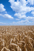 Zlatá zralé pšeničné pole, slunečný den, rozostřený, zemědělské krajiny, pěstování rostlin, pěstování plodin, podzimní příroda, sklizně sezónu koncepce — Stock fotografie