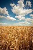 Champ de blé mûr doré, journée ensoleillée, flou artistique, paysage agricole, croissance des plantes, cultiver, culture, nature automnale, notion de saison de récolte — Photo