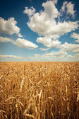 Golden ripe wheat field, sunny day, soft focus, agricultural landscape, growing plant, cultivate crop, autumnal nature, harvest season concept — Zdjęcie stockowe