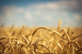 Golden ripe wheat field, sunny day, soft focus, agricultural landscape, growing plant, cultivate crop, autumnal nature, harvest season concept — Stock Photo