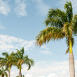 Caribian palms swaying in the wind - Stock Photo
