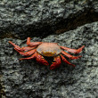 Red cliff crab - Lizenzfreies Foto